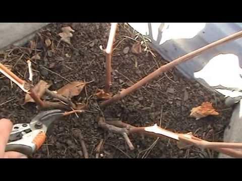 обрезка винограда осенью двухлетнего куста