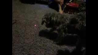 Schnoodle Attacks Laser Pointer!