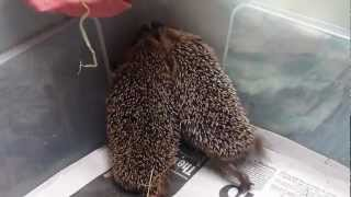Hedgehog hoglets trying to escape from their box.
