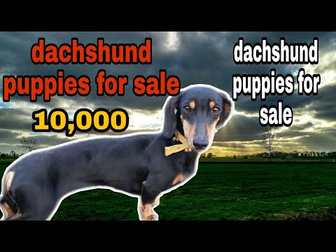 dachshund puppies for sale || dachshund dog breed Black || Best Dog To Home