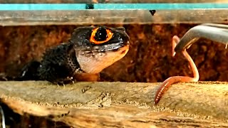 Red Eyed Crocodile Skink Feeding    Fütterung der Buschkrokodile (Tribolonotus gracilis)