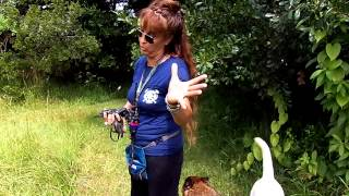 Deaf Dog Off Leash Recall Pretzel Dogtra Remote Electronic Collar