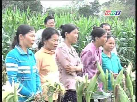 Kỹ thuật trồng giống bắp nếp lai đơn Milky 36 .flv