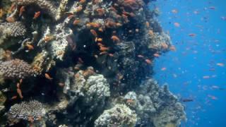 видео Биологическая характеристика карпа