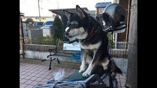 美女犬マッシュ TV番組・TV東京「なないろ日和」でも紹介されました、シ...
