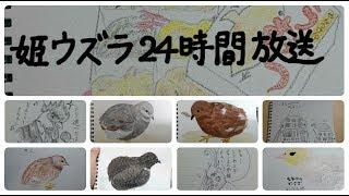 姫ウズラ24時間放送 Raising King Quail(chicks) 24/7 Live Stream from Tokyo.