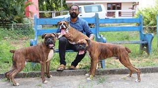 ഒരു കിടിലൻ ബോക്സ്ർ ബ്രീഡർ |Boxer Dog Kennel|Boxer puppy|Dog sale Kerala|Dogs Malayalam