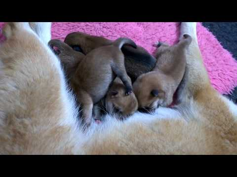 """SHIBA inu  szczeniaki - miot """"C"""" /  shiba inu puppy - litter """"C"""""""