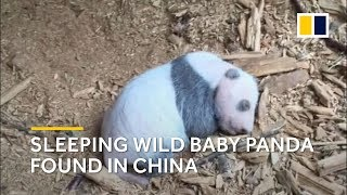 Why this sleeping wild baby panda in China is a really big deal