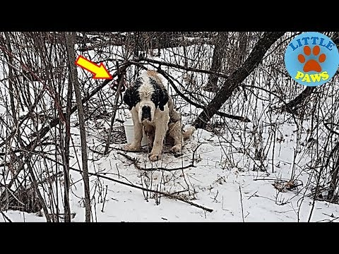 Rescue a St.Bernard Dog Survived Weeks Of Frigid Cold &Snow in Woods and Final Forever Home