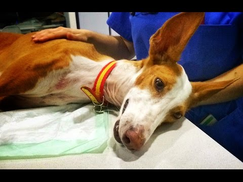 Amazing recovery dog with two legs broken by hunters. Please Share