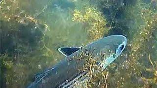 Охота на Пеленгаса. Подводные съемки морской рыбалки.