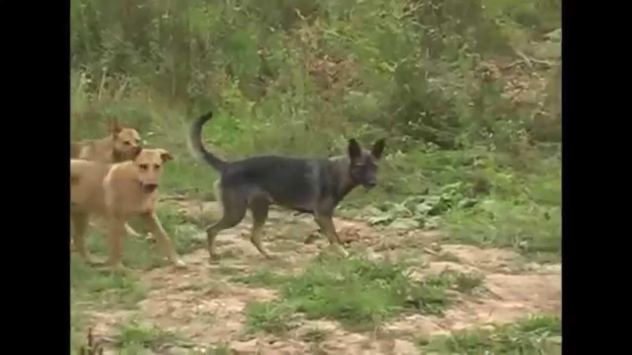 ультразвукового отпугивателя собак