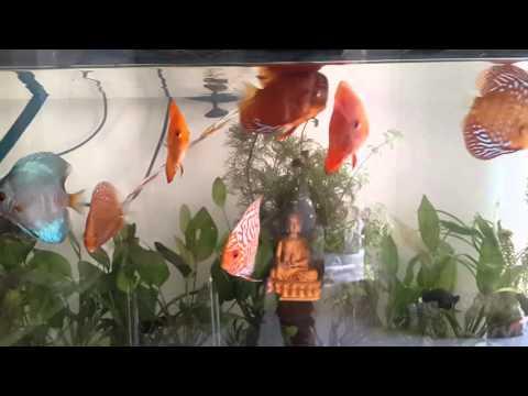 Discus Fish Sale In Mulund Mumbai India
