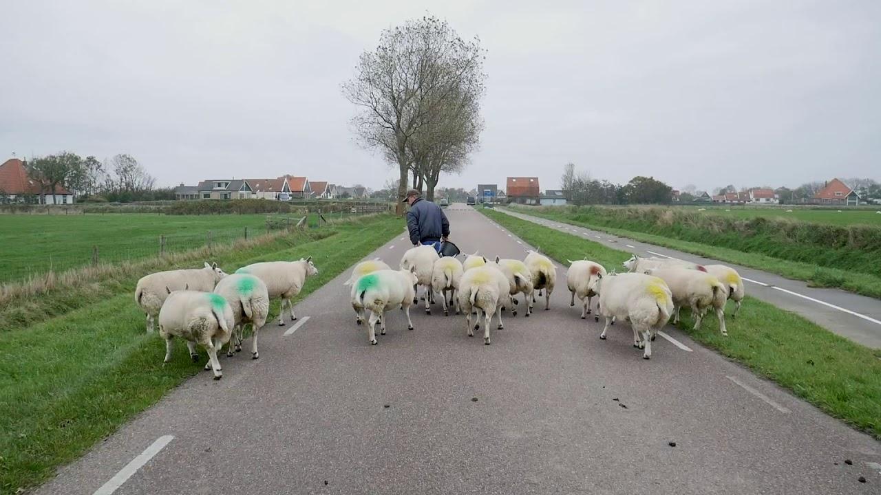 Download Schapen op de weg! Met schapenboer Herman Texelse schapen verweiden