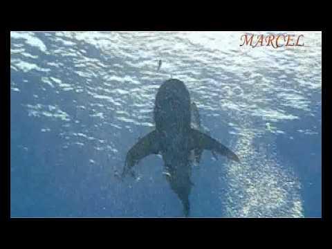 Акулы Красного моря Longimanus