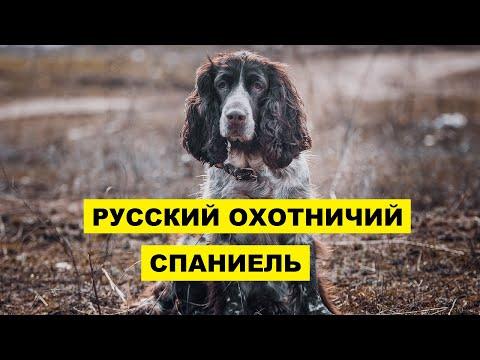 Русский охотничий спаниель описание плюсы и минусы породы   Порода собак Русский охотничий спаниель