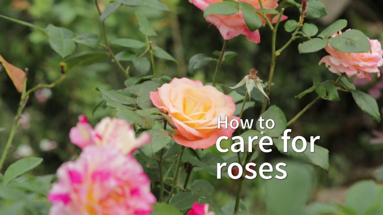 How To Care For Roses Youtube
