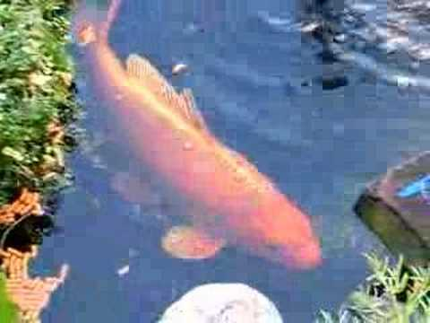 Big koi fish in a small pond youtube for Large koi pool