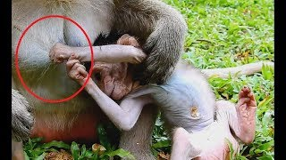 Adorable Cutest Pink Baby Monkey Very Active Enjoy With Mom On Ground .