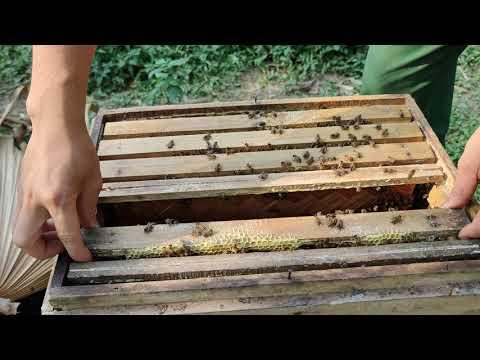 """Phần 5# kỹ thuật nuôi ong vượt hè """"Mũ chúa 4 ngày tuổi và bệnh thường gặp ở ong vào hè"""