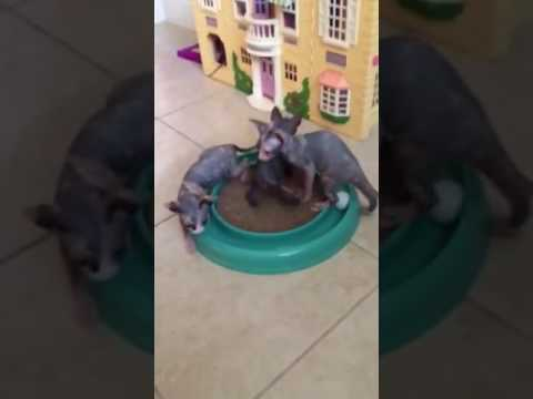 Sphynx and Bambino Kittens Playing