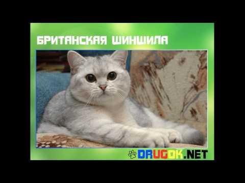 Благородная порода кошек -золотистая шиншилла