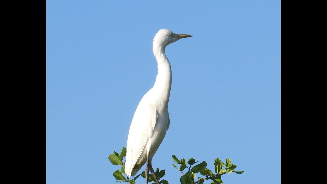 Bird Watching for relaxation - Beautiful White Bird CRANE ...