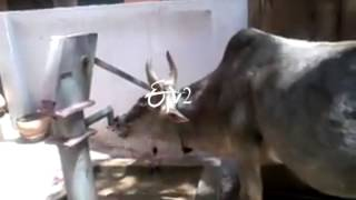 Bizzare Visuals of A Cow Drinking Water At a Hand Pump
