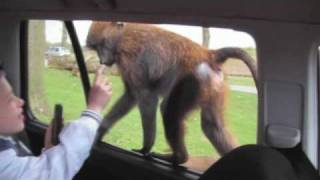 Monkey opens my son's door at Knowsley Safari Park. Very funny!