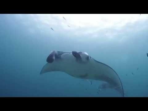 マンタたちの宴♪モルディブダイビングバア環礁 ハニファルアウトリーフParty of mantas,Maldives diving