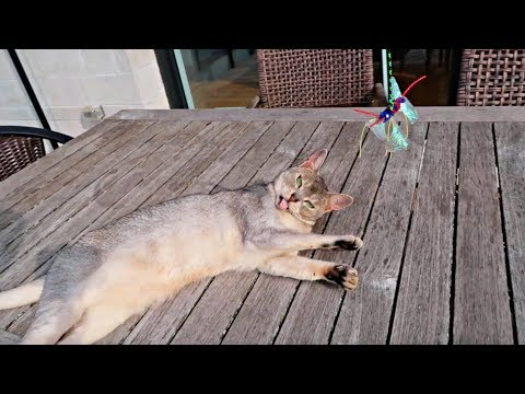 Abyssinian cats MORNING ROUTINE (on fast forward) | CUTE CAT CLEO