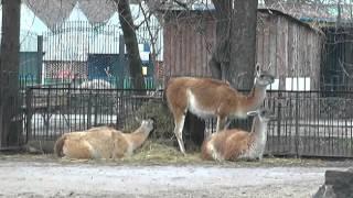 видео Московский Зоопарк !!! Moscow zoo.