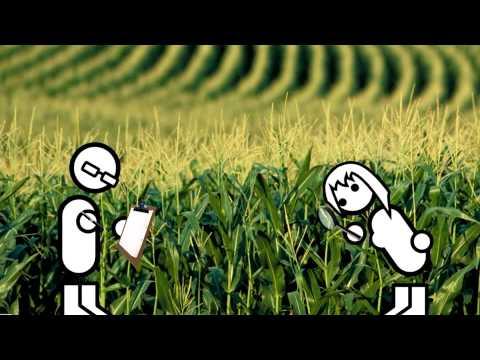 Mile the Corn