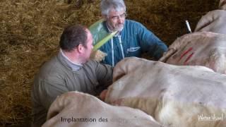 Transplantation embryonnaire de vache Charolaise - Génétique et reproduction bovine