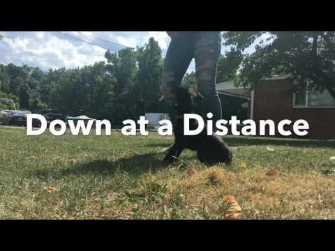 Chinese Crested-Mix, Benny!  Chinese Crested Dog Training | Off Leash K9 Training