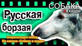 Русская борзая. Энциклопедия пород собак.