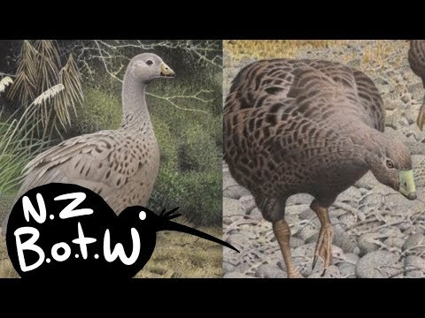 New Zealand Goose - New Zealand Bird Of The Week