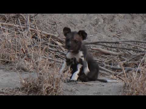 African Wild Dogs Feed Few Week Old Puppies!!!!!