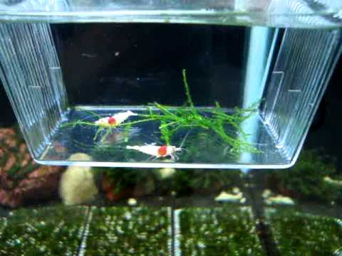 Shrimp Tank Breeding Made Easy in 10 Tips | Planted Tank Source