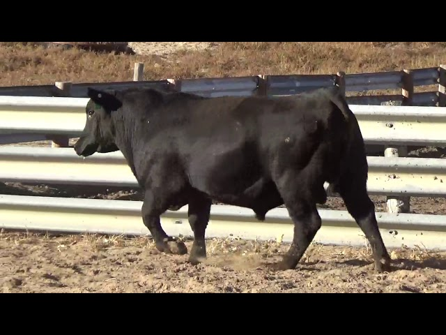Connealy Angus Lot 232