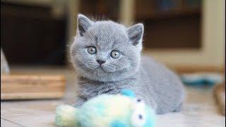 Британские котята в возрасте 6 недель (Litter-J2)