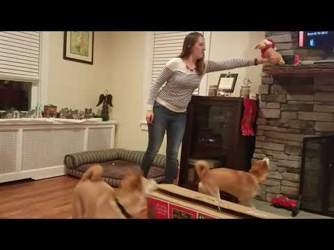 Shiba Inu dance and sing to jingle bells