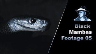 Black Mambas Mating Stock Footage 01