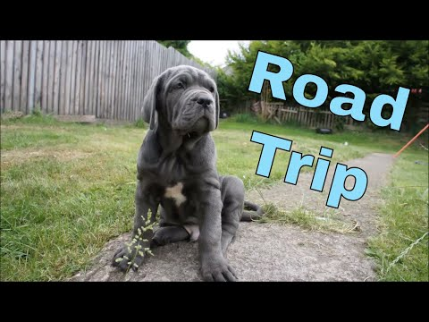 Puppies Leaving! Ep.1 Last Afternoon With Family of Neapolitan Mastiffs