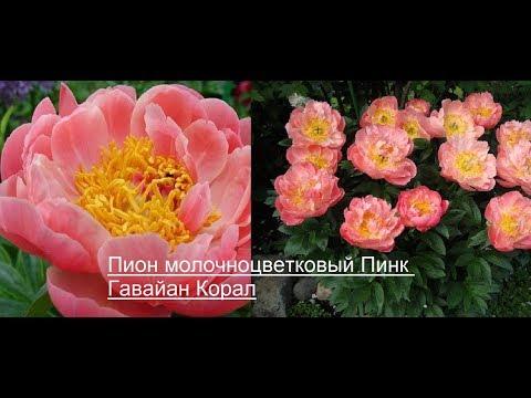 Пион молочноцветковый Пинк Гавайан Корал