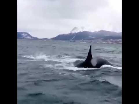 Orcas en la costa de Ushuaia