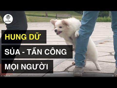 Dạy cún hung dữ - mất kiểm soát (trailer) | Cách huấn luyện chó cơ bản BossDog | Dog training