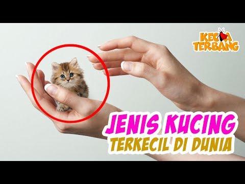 IMUTNYA KEBANGETAN!  inilah 6 Ras Kucing Terkecil di Dunia.