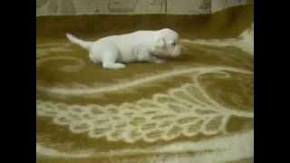Питомник продаёт китайских хохлатых собак в Мурманской области